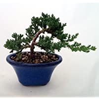 Japanese Juniper Bonsai Growing in 3