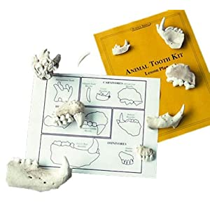Skullduggery - Animal Tooth - Classroom Science Kit