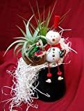 Living Christmas Ornament - Frosty the Snowman - Air Plant - Tillandsia