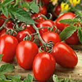 Vegetable Seeds Italian Roma tomatoes seeds [ Pack Of 100 seeds ] by Seedscare India