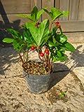 ヤブコウジ(十両)ポット苗 可愛い赤い実がなります【常緑低木】