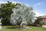 100 cm Große und seltene Bismarck Palme Bismarckia nobilis Topfdurchmesser