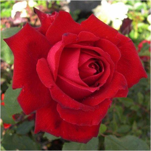 ROSE MY VALENTINE-Superb Gift for Valentines