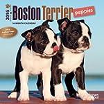 Boston Terrier Puppies 2016 Mini 7x7...