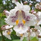 50 Flowering NORTHERN CATALPA Speciosa TREE Seeds (aka Western Catalpa or Catawba / Indian Cigar / Fish-Bait)