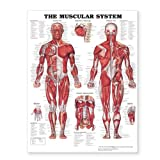 Anatomical Chart Company The Muscular System Giant Chart
