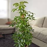 Schefflera arboricola Nora 100cm - 1 plant