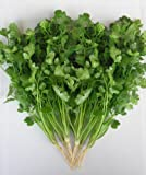 Just Seed Herb - Coriander Green Aroma - Coriandrum sativum - 2000 seeds