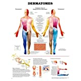 Dermatomes Anatomical Chart Unmounted