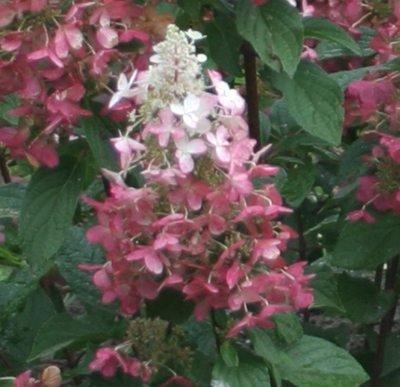 Hydrangea Pinky Winky™ (Hydrangea Hardy) - 1 Gallon Pot (Pinky Winky)