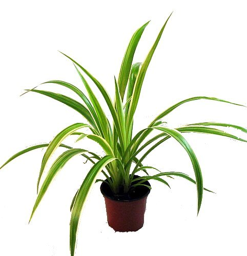 ocean-spider-plant-easy-to-grow-cleans-the-air-new-35-pot