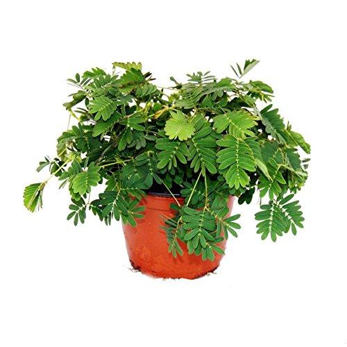mimose-ruhr-mich-nicht-an-die-pflanze-die-auf-beruhrung-reagiert-9cm-topf