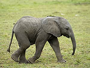 Poster baby african elephant cute animals nature wild life African elephant home decor