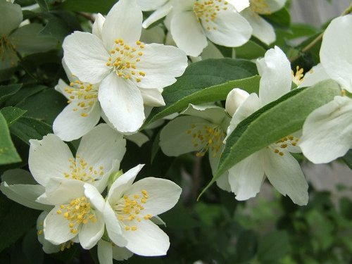 "(TSMO)~Fragrant~""MOCK ORANGE"" SHRUB~Seed!!!~~~~~Simply Lovely!"