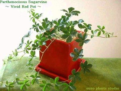Parthenocissus Sugarvine / vivid red pot / シッサス・シュガーバイン / ヴィヴィッドレッドポット / インテリア観葉植物 / 鉢植え