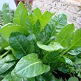 Premier Seeds Direct LO-MT3B-C3F1 10g Spinach Perpetual Seeds (Pack of 500)
