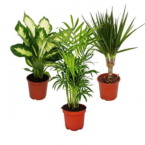 indoor-plant-mix-ii-3rd-sets-1x-dieffenbachia-1x-chamaedorea-mountain-palm-1x-dracena-marginata-drag