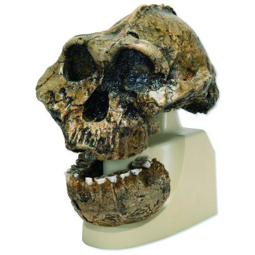 3b-scientific-vp755-1-knm-er-406-omo-l-7a-125-anthropological-skull-model-71-x-71-x-89