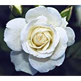 24 Colors Rose Seeds 100 Seeds/pack Four Seasons Sowing The Seeds Of Perennial Flowers, Rose Flowers Seeds Easy...