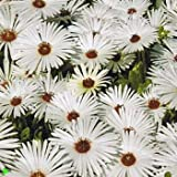 Outsidepride White Ice Plant Seeds - 5000 seeds