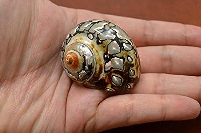 "South Africa Sarmaticus Turbo Hermit Crab Sea Shell 1 1/2"" - 2"" by MyGANN"