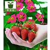 四季なりイチゴ・トスカーナ3号 3株セット[野菜苗][濃ピンクの花と赤い実・観賞兼用のイチゴ]