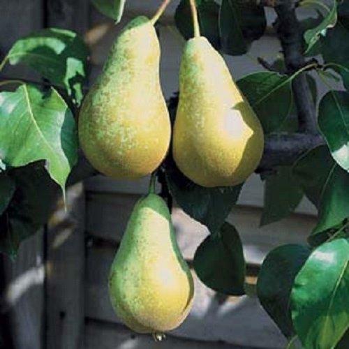 1x 3-4ft Pyrus Conference Pear Fruit Tree - Mini Fruit Tree - 5l