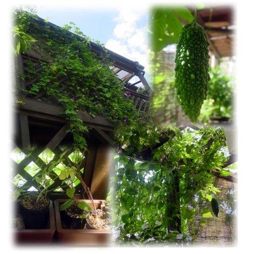 緑のカーテン ゴーヤ ネット