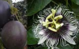 'Possum Purple' Edible Passion Vine Plant - Passiflora edulis - Exotic!
