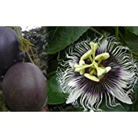 'Possum Purple' Edible Passion Vine Plant - Passiflora edulis - Exotic! - 4