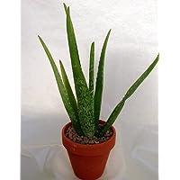 Aloe Vera in 4