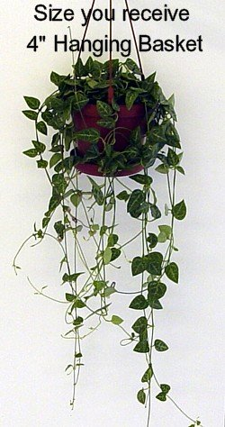 Buy Rosary Vine 4″Hanging Basket-String of Hearts-Ceropegia