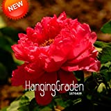 New Fresh Seeds Chinese Peony Seeds Hot Red Peony Flower Potted Bonsai Plant Seed 10 Pieces / Bag,#V2N040