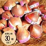 [エルフルール]チューリップ球根 超特大球14cm 30球 ガーデニング 園芸 花 球根 秋植え
