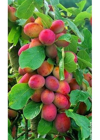 patio-mini-tree-collection-3-trees-plum-apple-pear