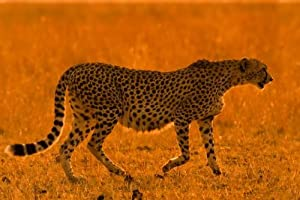 African Wall Decals Female Cheetah (acinonyx Jubatus) Walking on Short Grass Plains Backlit in Late Afternoon Golden Light - 30 inches x 20 inches - Peel and Stick Removable Graphic