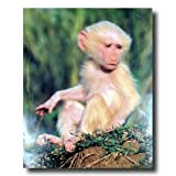 Olive Albino Baby Baboon Monkey Wildlife Wall Picture Art Print