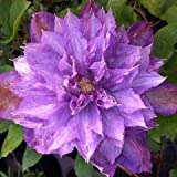Clematis Proteus In 2 Litre Pot - Established Climbing Climber Plant - Ideal Gift Present