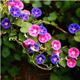 30-semi-bag-anti-fog-e-foschia-formaldeide-morning-glory-semi-di-fiori-della-famiglia-vite-stagioni-