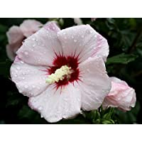 Blush Satin® Rose of Sharon - Hibiscus - Very Hardy - Proven Winners