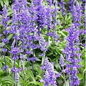 Outsidepride Sage Blue Wildflower - 5000 Seeds