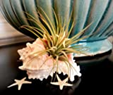 Hinterland Trading Seashell Air Plant Tillandsia Terrarium with Two Starfish