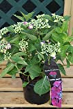 Hardy Garden Hydrangea Macrophylla 'Kardinal Violet' Violet Flowers- GOOD SIZED PLANT
