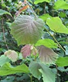 Trees By Post Hazel Trees (Corylus avellana) (Hazelnut) x 15