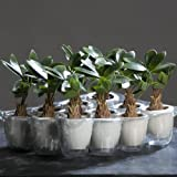 Money tree pachira 22cm