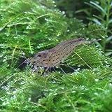 熱帯魚 観賞魚 エビ ヤマトヌマエビ 20匹セット 【藻やコケ対策に・ヤマトヌマエビ】 【生体】