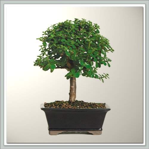 Dwarf Jade (Portualacaria) Bonsai Tree I | Nursery Direct From Joebonsai