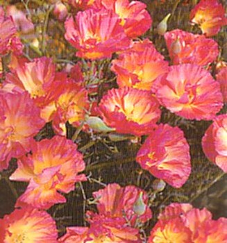 Buy Rose Chiffon California Poppy 50 Seeds &#8211; FREE SHIPPING ON ADDITIONAL HIRTS SEEDS