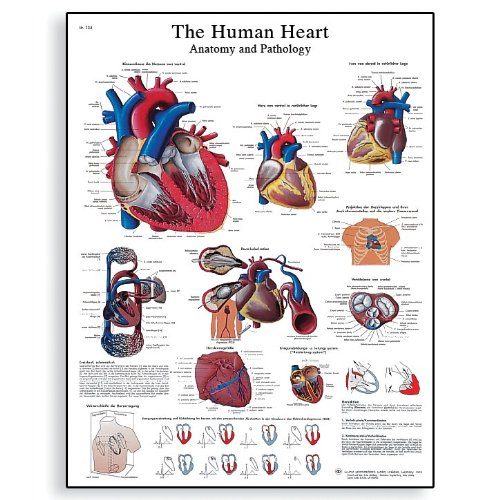 3B Scientific Glossy Paper Human Heart Anatomy and Physiology Chart - 1