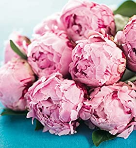 Flowers by Post - 12 Peonies - Marks & Spencer